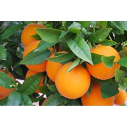 Naranjas 10 kg + Mandarinas...